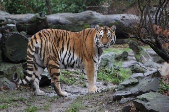 Sibirischer Tiger/Amurtiger