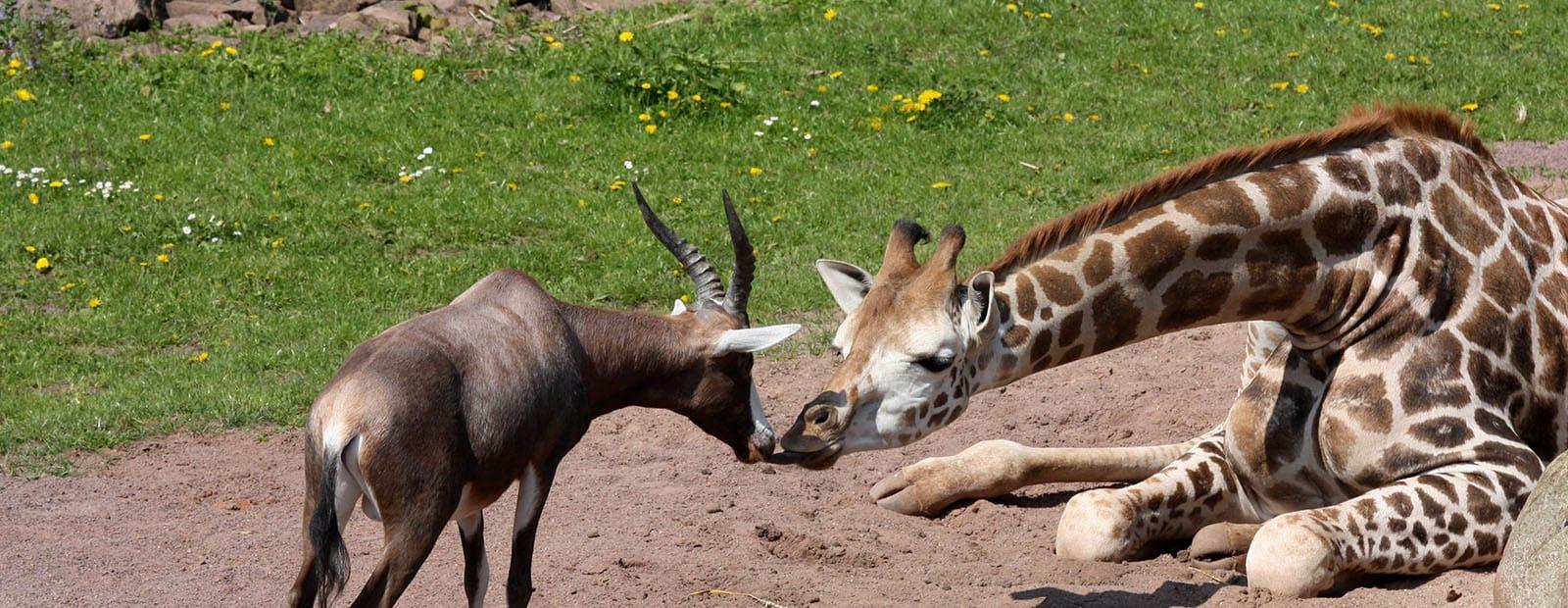 Giraffe und Blessbock