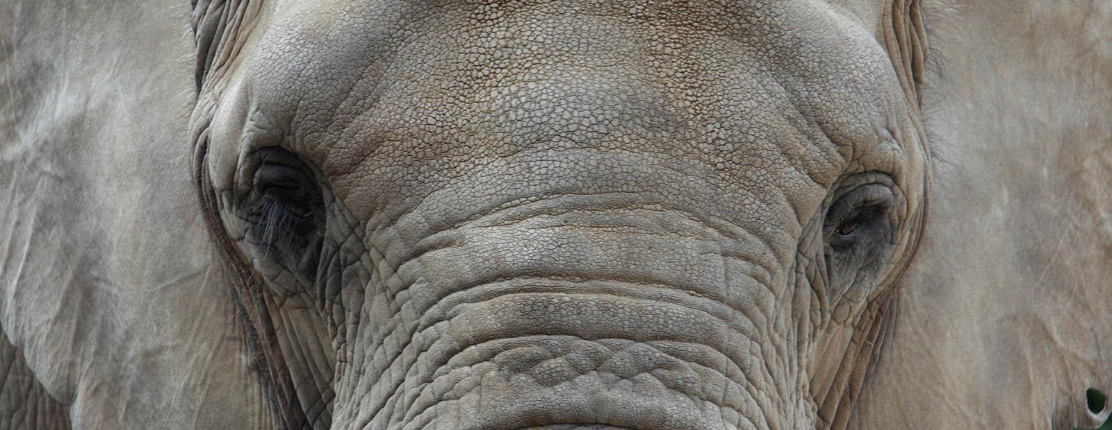 Elefant Mwana
