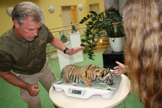 Tigernachwuchs beim Wiegen