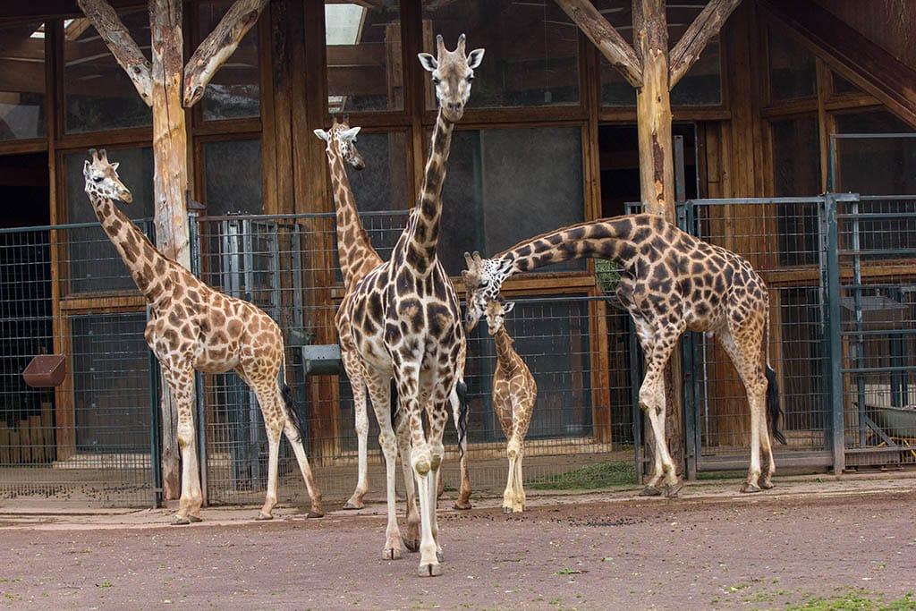Giraffenhaus 3