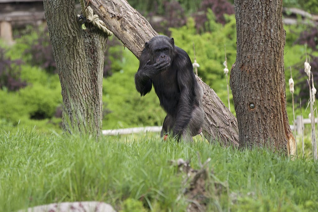 Schimpansenhaus 2 Zoo Magdeburg