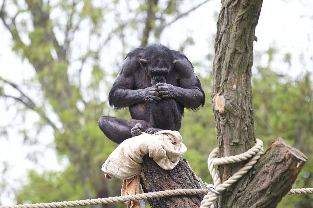 Schimpansenhaus 3 Zoo Magdeburg