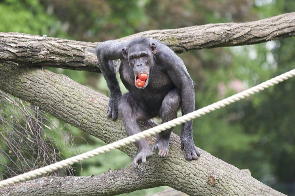 Schimpansenhaus 4 Zoo Magdeburg