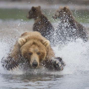 Kamtschatka-Bär