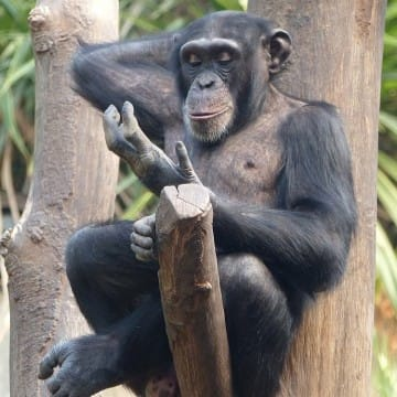 Schimpanse Bangolo