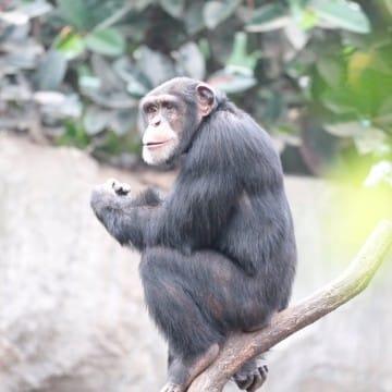 Schimpanse Kofi