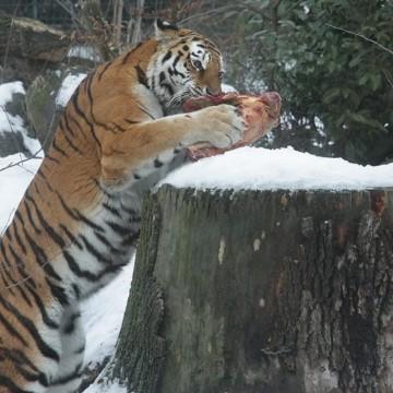 Tigerfütterung
