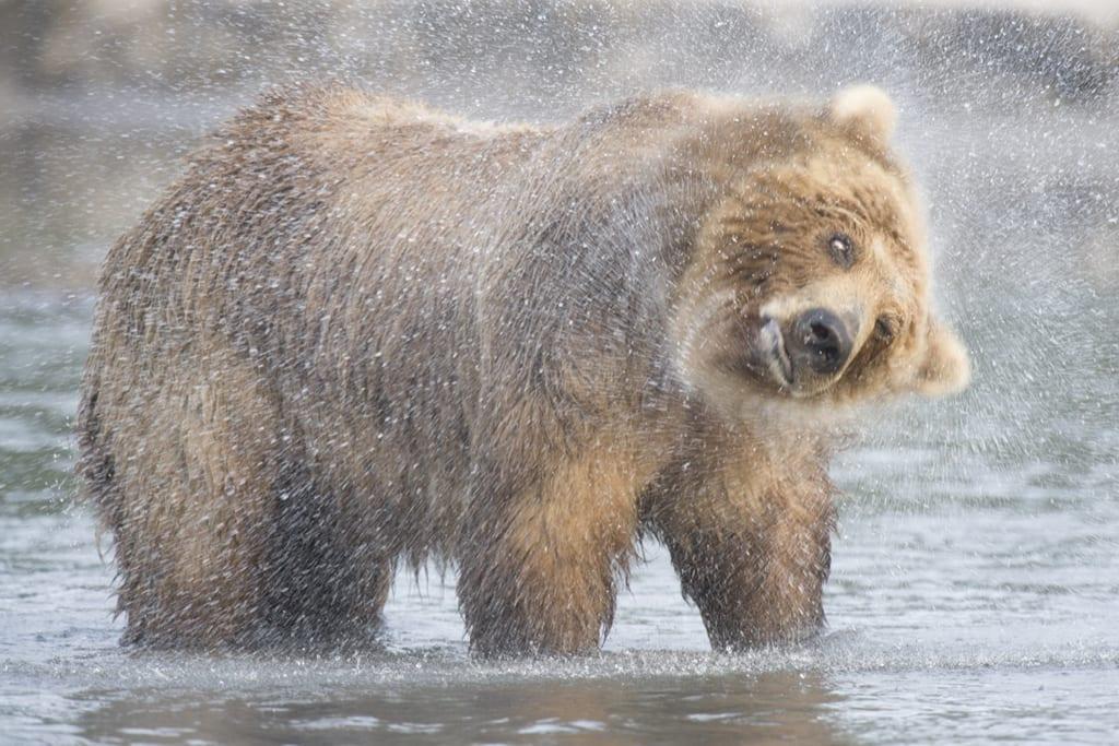 Kamtschatka-Bär: Das Fell muss trocken sein! / Peter Romanov