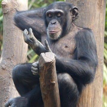 """Schimpanse """"Bangolo"""""""