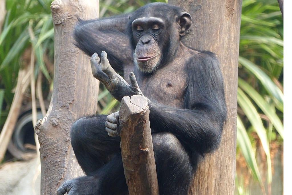 Neuzugang: Schimpanse