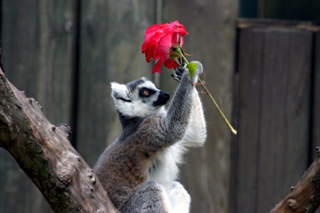 Katta gratuliert zum Valentinstag