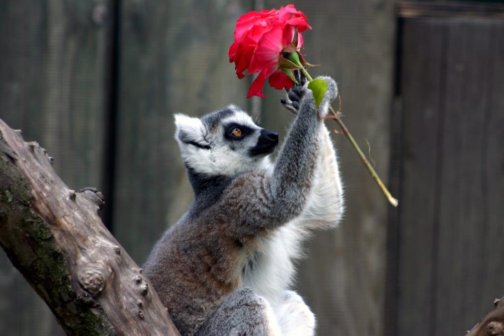 Liebesbote: Katta mit Rose / Zooarchiv