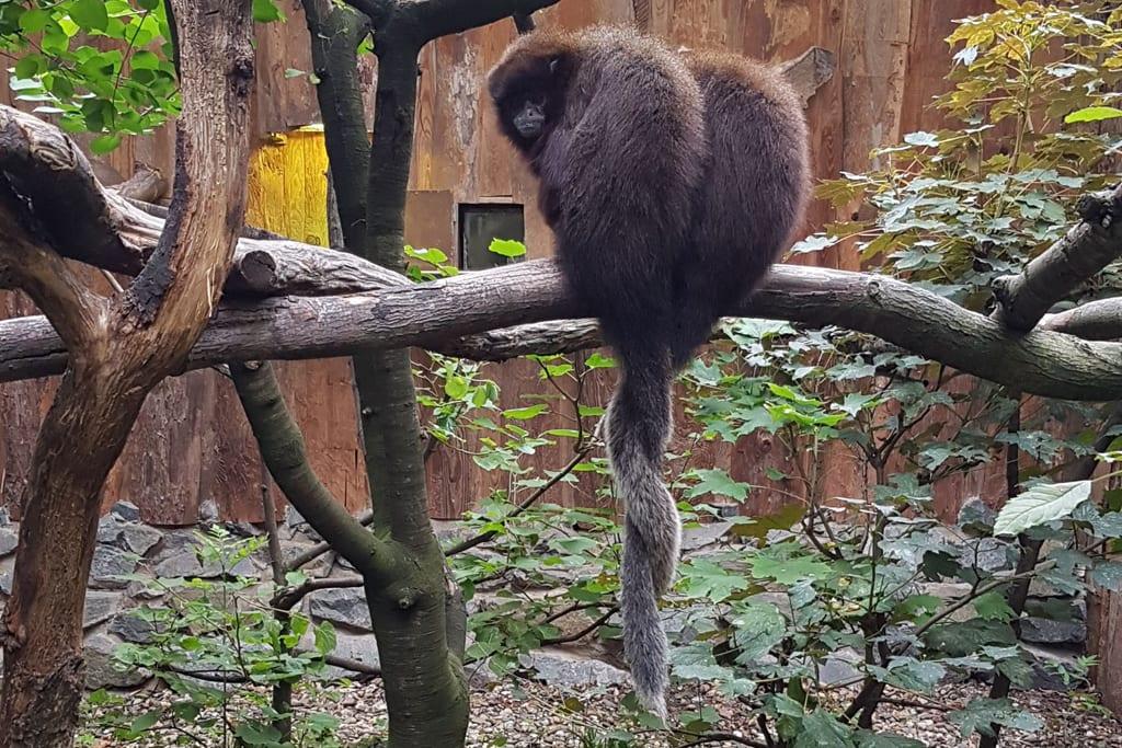 Sumpfspringaffen: zwei Schwestern unzutrennlich / Zoo Magdeburg
