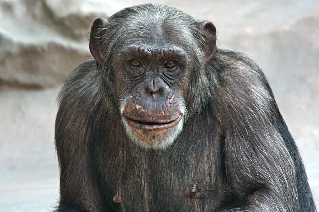 Schimpanse Nana