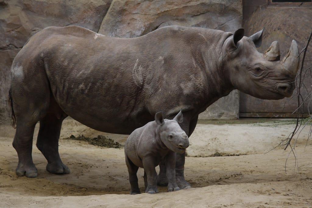 Nashorn mit Jungtier
