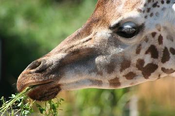 Giraffe bei Fütterung
