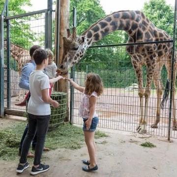 Giraffenfütterung im Magdeburger Zoo