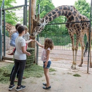 Giraffen im Magdeburger Zoo