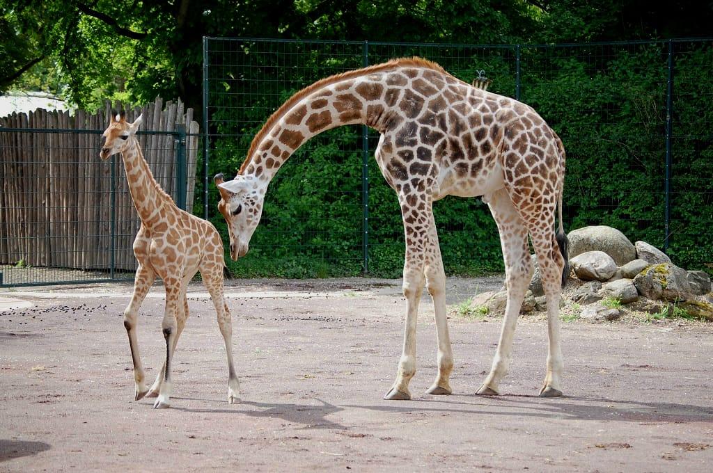 Giraffe Shani