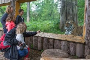 Besuch beim Tiger