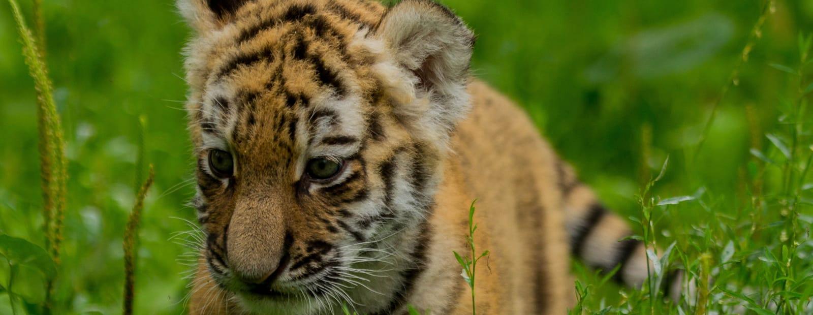 Tiger Nachwuchs im Magdeburger Zoo