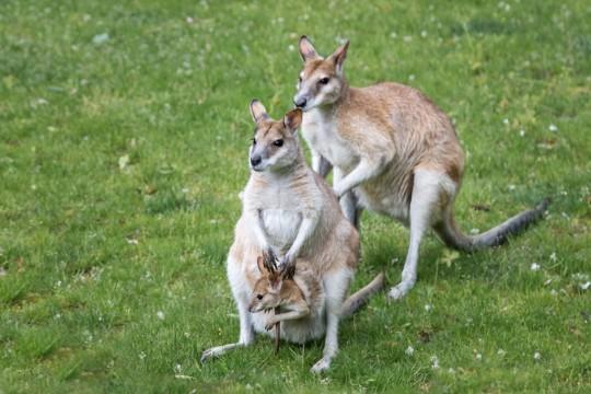 Flinkes Känguru