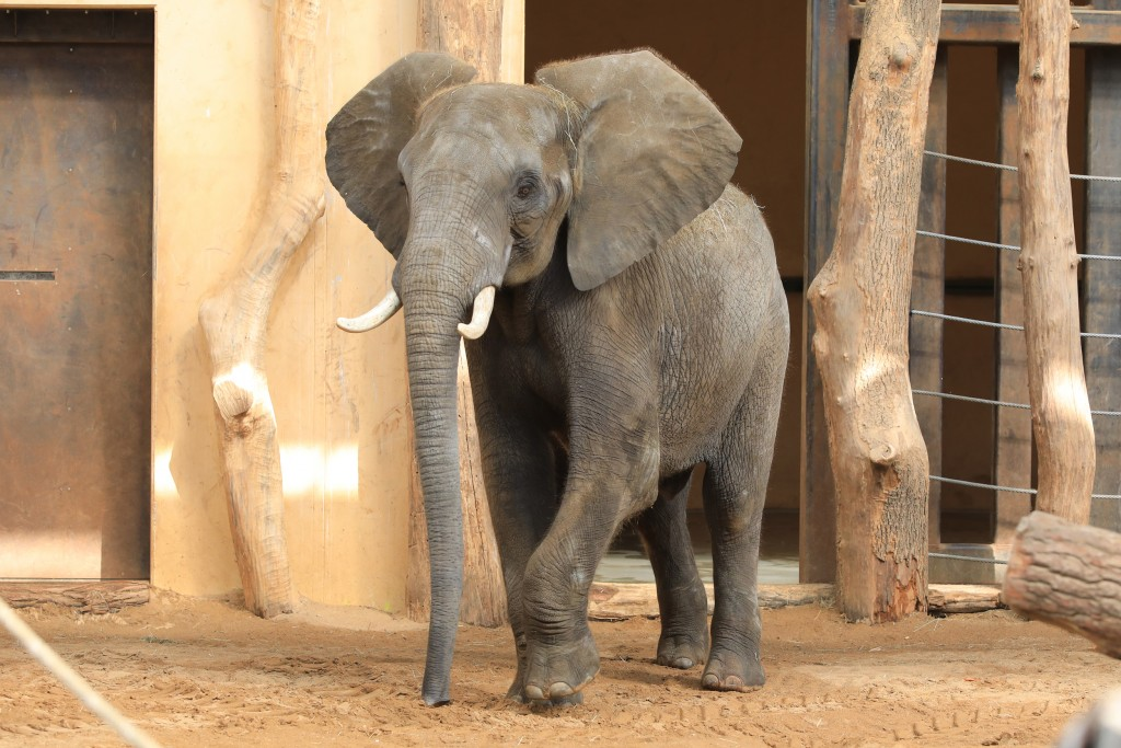Elefantenbulle Kando