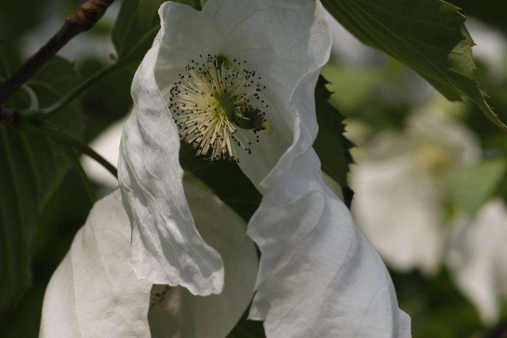 Blüte des Taschentuchbaumes / Zoo Magdeburg