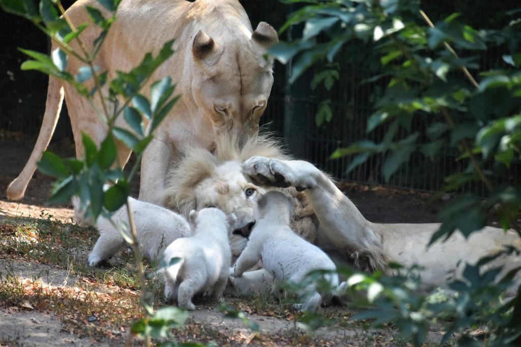 Weißer Löwen-Nachwuchs / Ina Sporleder