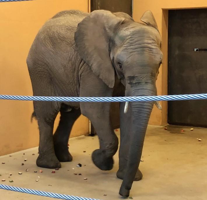 Elefantenbulle Rungwe