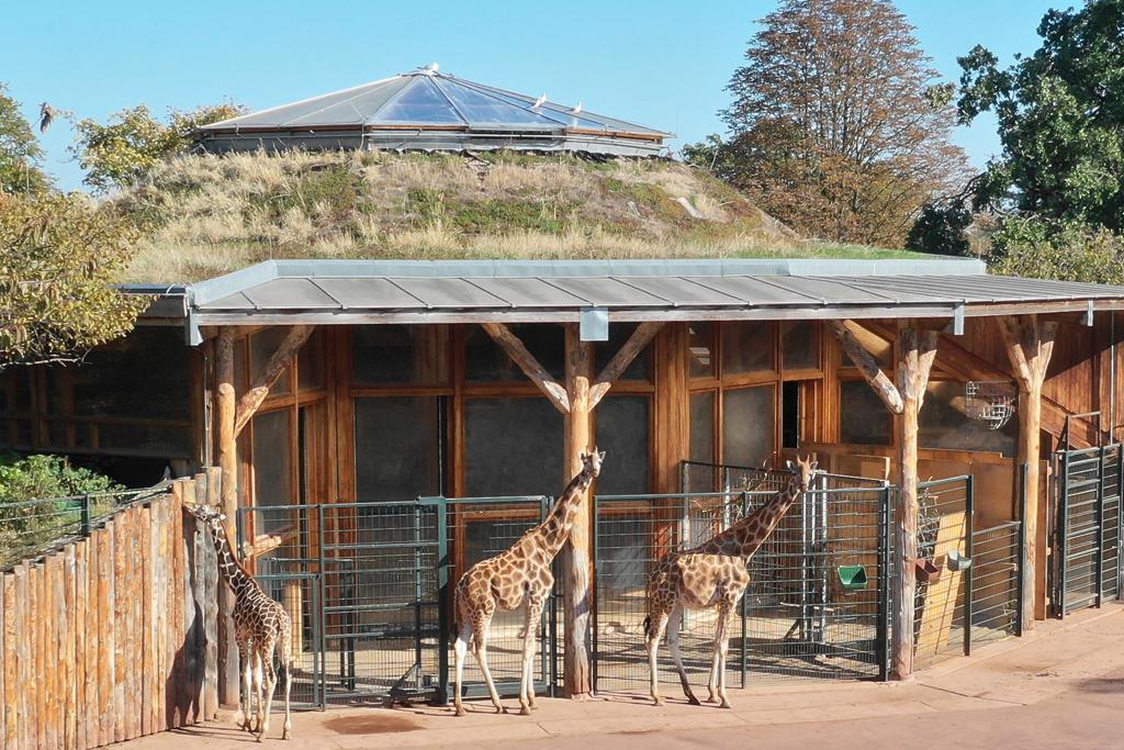 Rothschild-Giraffen / Zoo Magdeburg