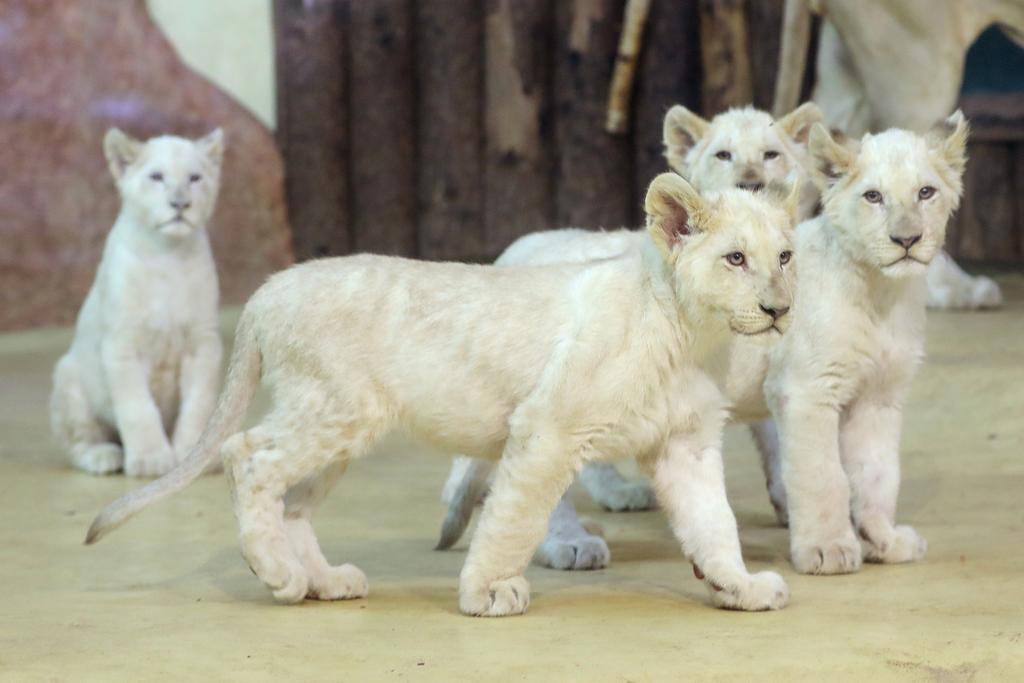 Namenstaufe weiße Löwen_Viktoria Kühne