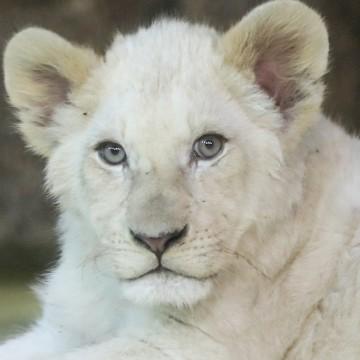"""Öffentliche """"Namenstaufe"""" der weißen Löwen"""