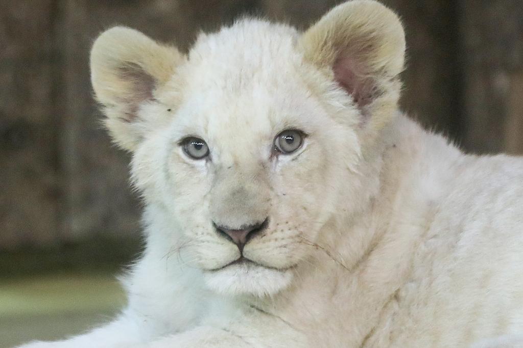 Weißer Löwenkater /Viktoria Kühne