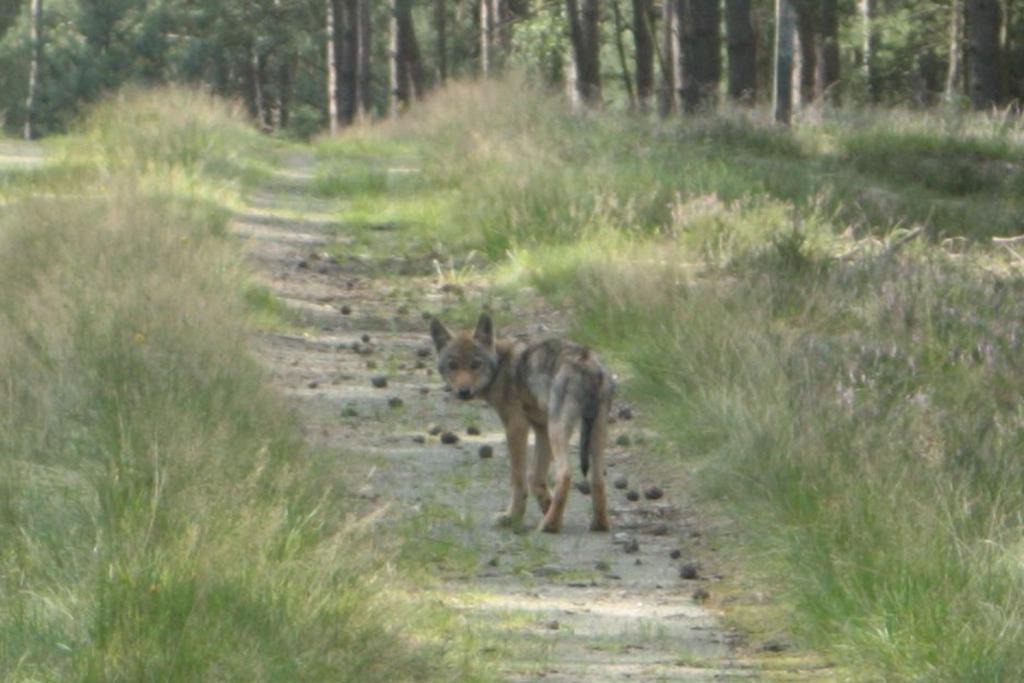 Wolf-Welpennachweis 2017_Antje Weber_WZI