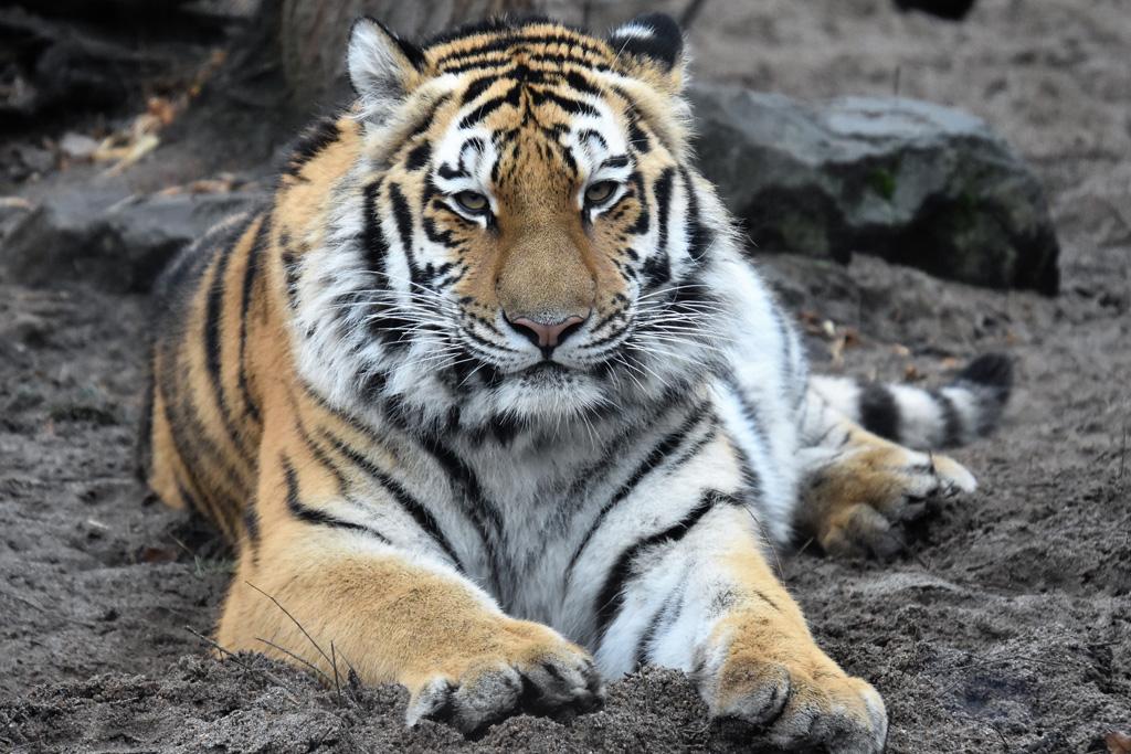 Sibirische Tigerin Stormi / Ina Sporleder