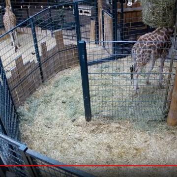 ZOO LIVE: Live Giraffengeburt mitverfolgen!