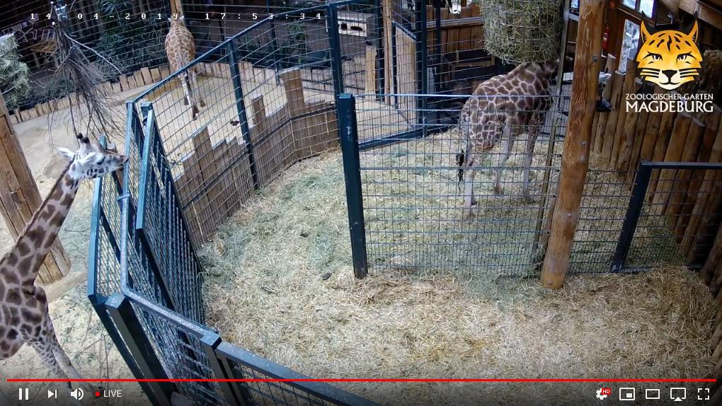 Giraffe_Cam3