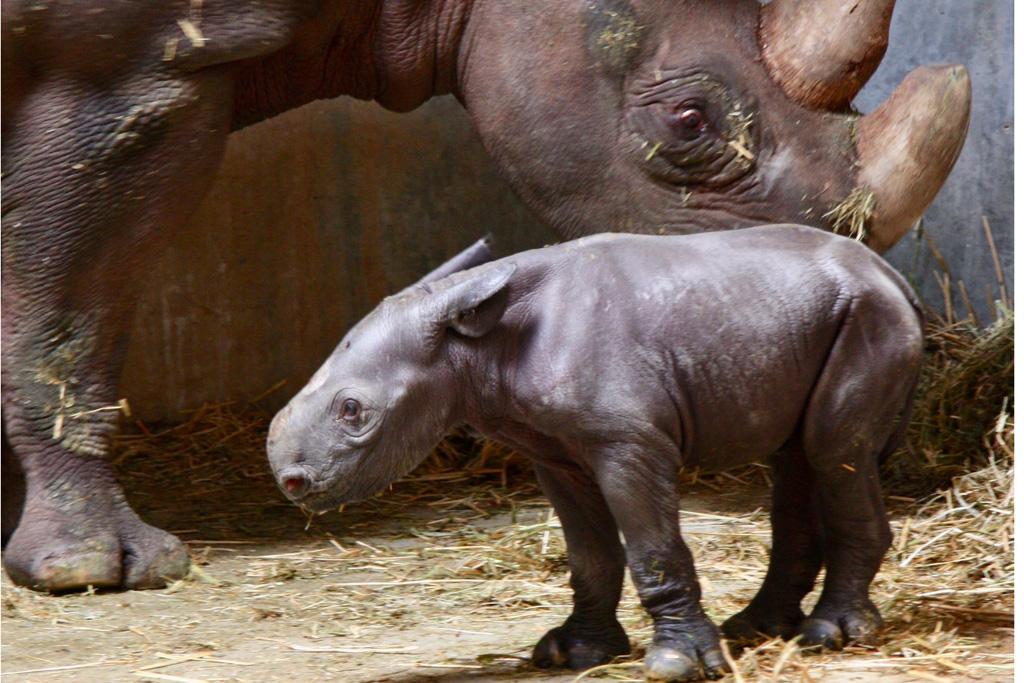 Spitzmaulnashorn-Jungtier Zoo Magdeburg