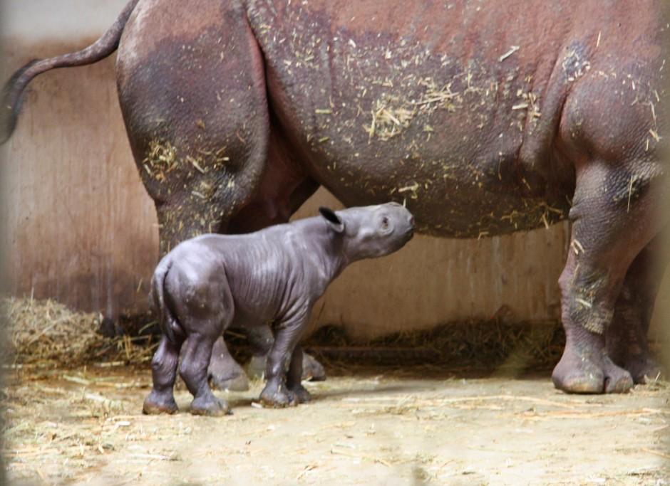 Spitzmaulnashorn-Nachwuchs / Zoo Magdeburg