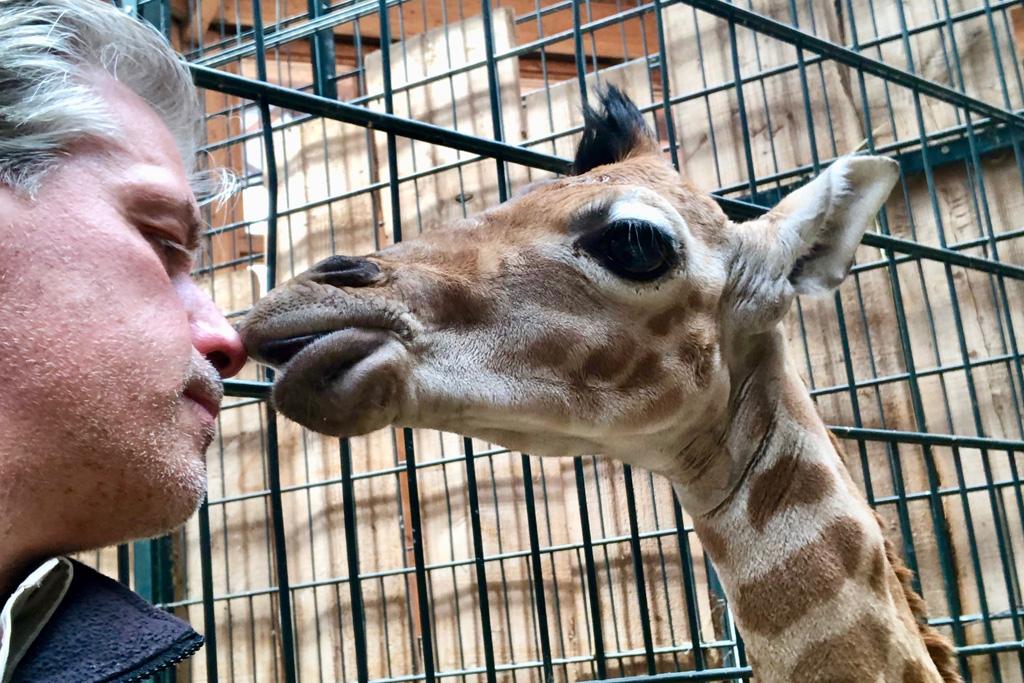 Zoodirektor Dr. Kai Perret mit Giraffenbullen / Zoo Magdeburg