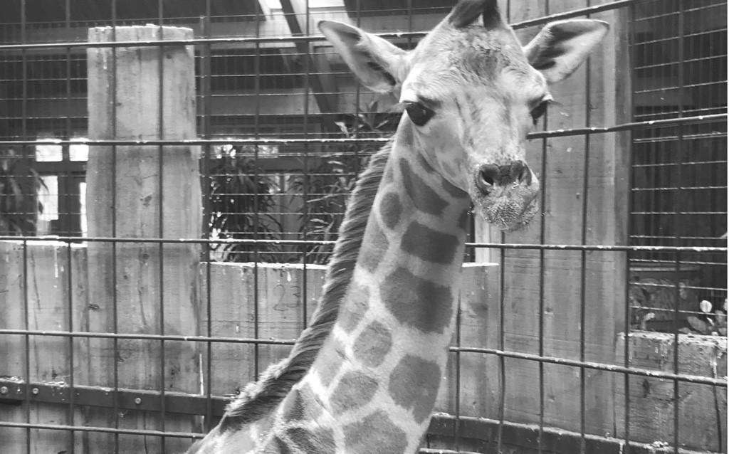 Trauer um Giraffenbullen / Zoo Magdeburg