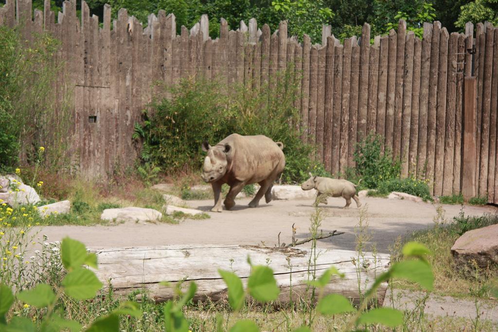 Spitzmaulnashorn-Jungtier auf der Außenanlage unterwegs / Zoo Magdeburg
