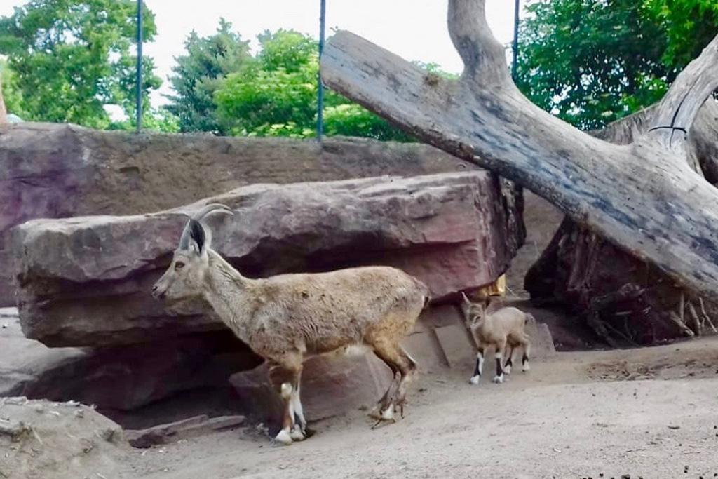 Nachwuchs bei den seltenen Nubischen Steinböcken
