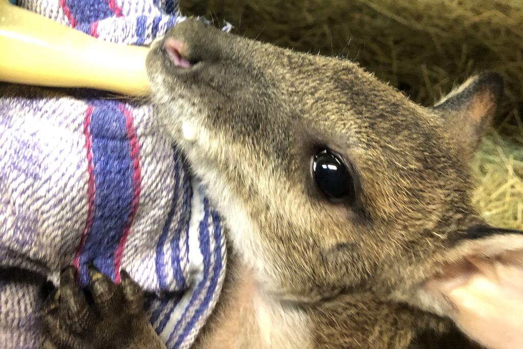 Känguru Ötzi bekommt Flaschenfütterung_Zoo Magdeburg