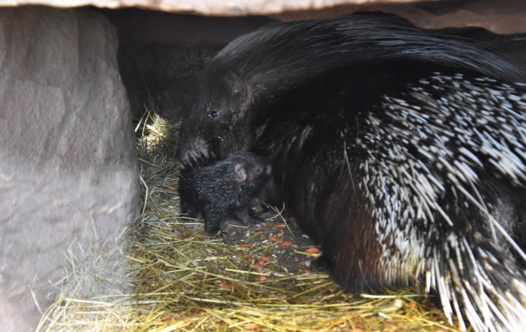 Jungtier Südafrikanisches Stachelschwein / Ina Sporleder