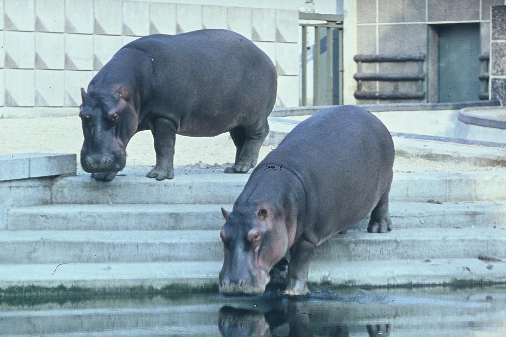 Flusspferde Berolina und Negus_80Jahre_Zoo MD