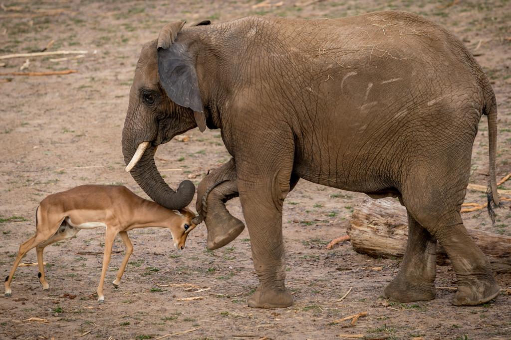 Impala trifft auf Elefant© www.AndreasLander.de