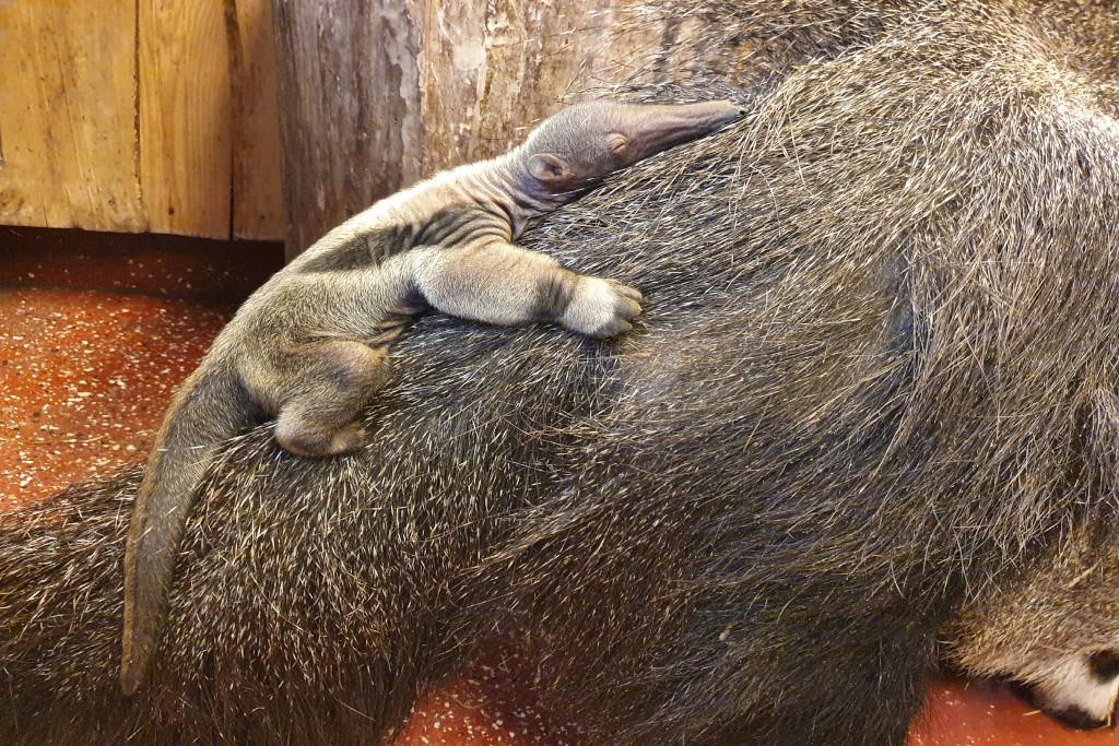 Am 8.2.2021 wurde ein Grosser Ameisenbär im Zoo Magdeburg geboren. Foto: Petra Oppermann